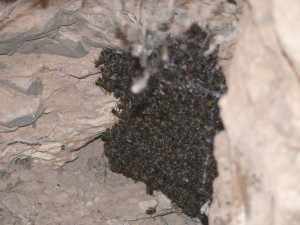 Honeybees clustering on their combs at the end of a deserted aardvark burrow in January 2015. Note the spider in front of its 'pantry'