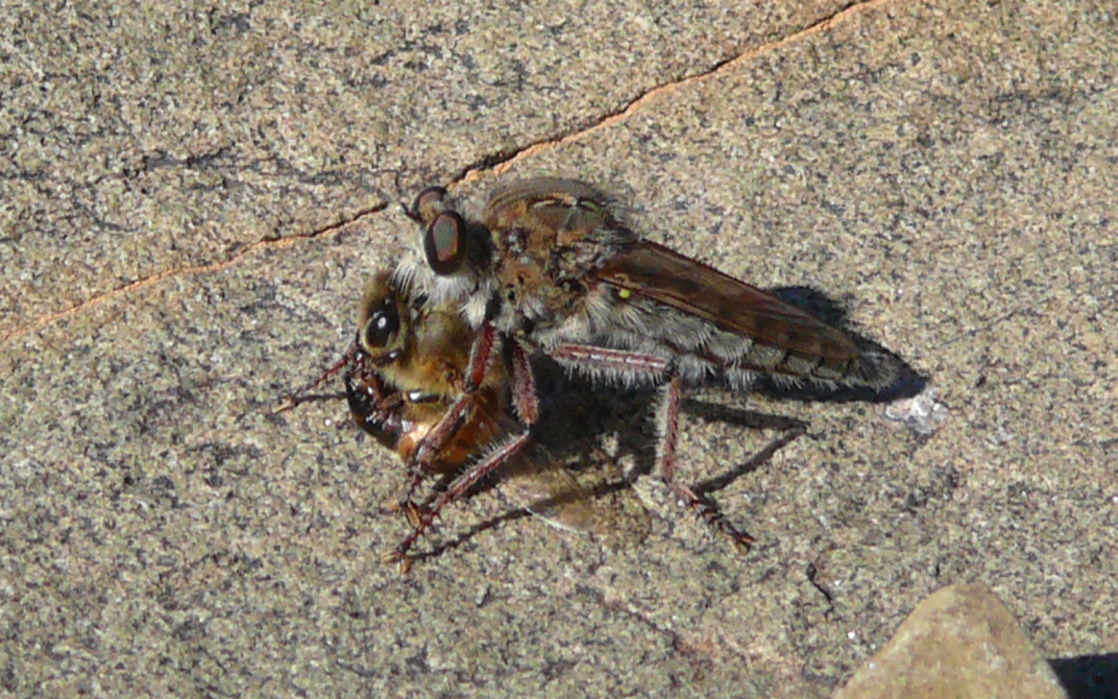 An asilid robber fly with a captured honeybee photographed several metres below the 1052 spot height beacon on Rooiberg