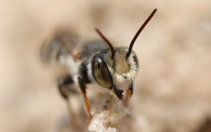 leafcutter bee 7