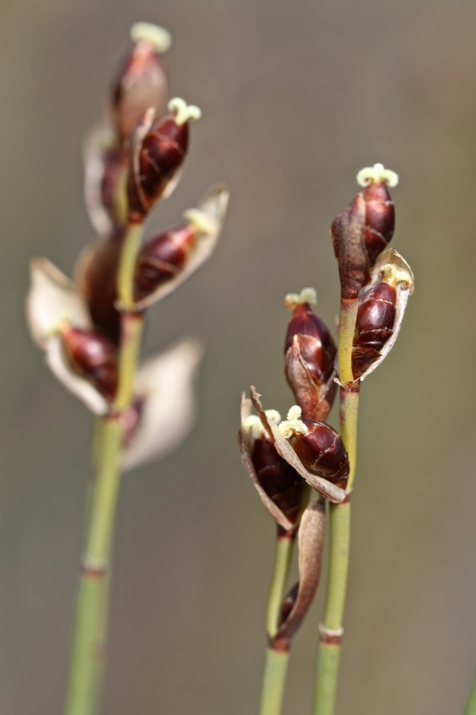 Figure 8. Female Elegia tectorum flowers not visited by honeybees.