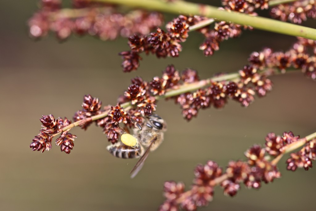 Figure 7. A honeybee collecting pollen from male Elegia tectorum flowers.