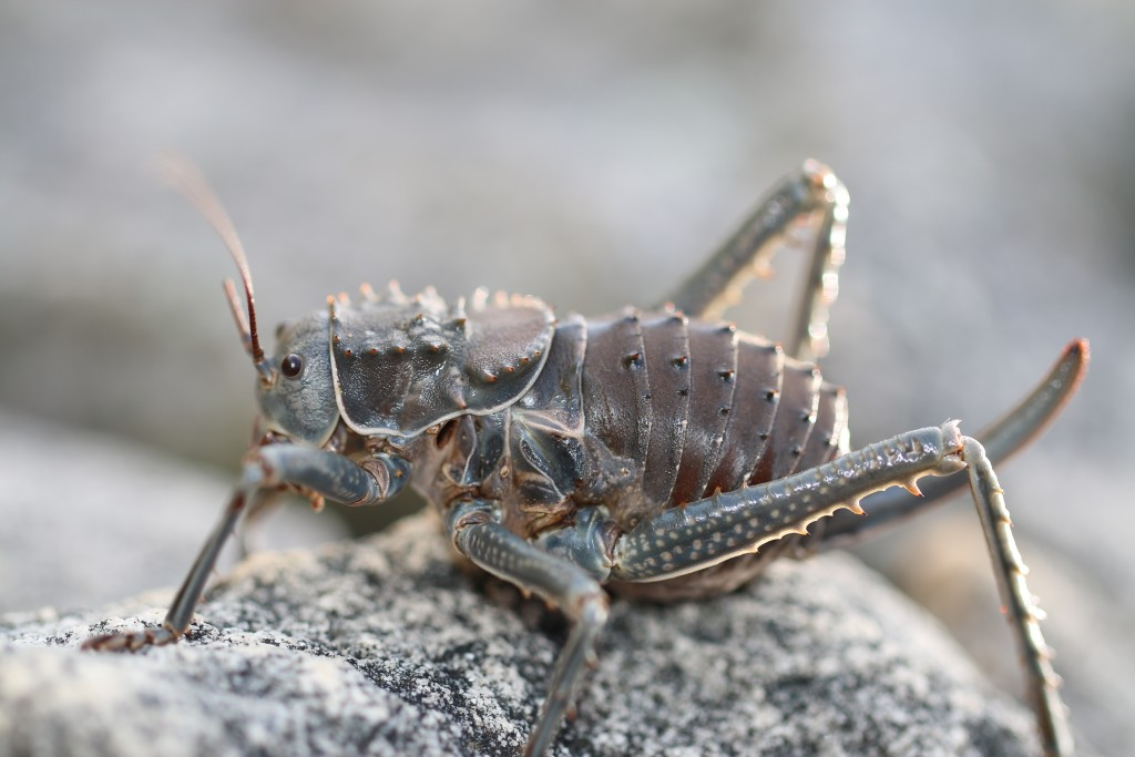 The prehistoric looking 'koringkriek' or corn cricket, Hetrodes pupus, active on the mountain