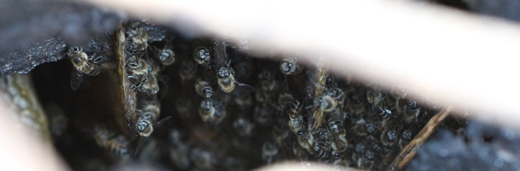 Fig. 5b. Bees of Colony 3 clustered on some melted combs. Note the remains of the melted propolis that once encased the nest entrance.