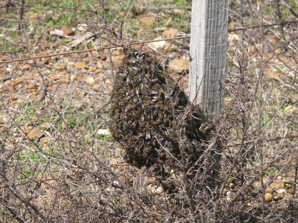 Fig. 7. Swarm of Cape bees during the canola flow at Caledon