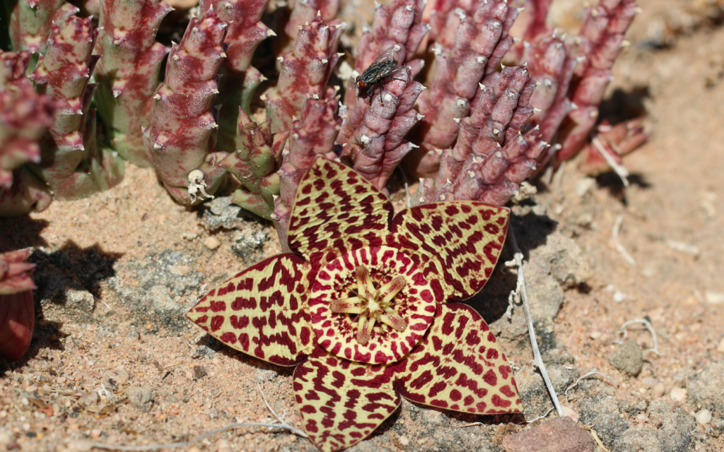 Orbea variegata from the south-western Cape with fly pollinator.