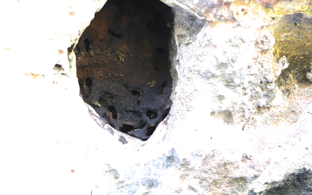 Fig. 2. An almost completely closed entrance to a nest in the wall of a cliff except for several exit holes allowing one bee to pass at a time.