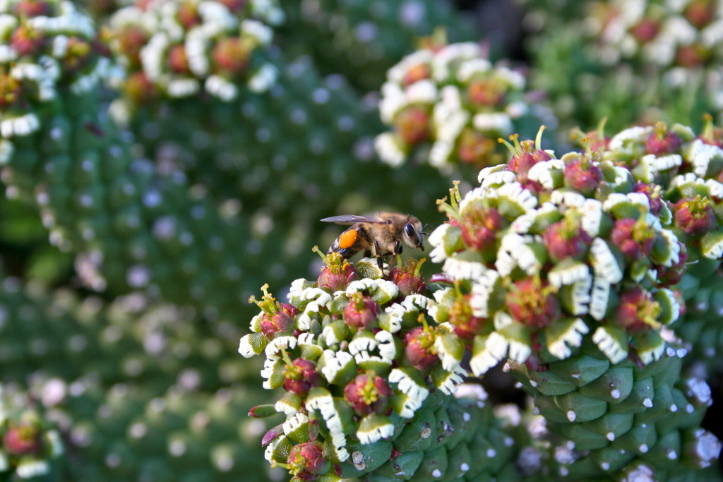 Cape honeybee visiting Euphorbia caput-medusae in the Cape Point section of Table Mountain National Park.