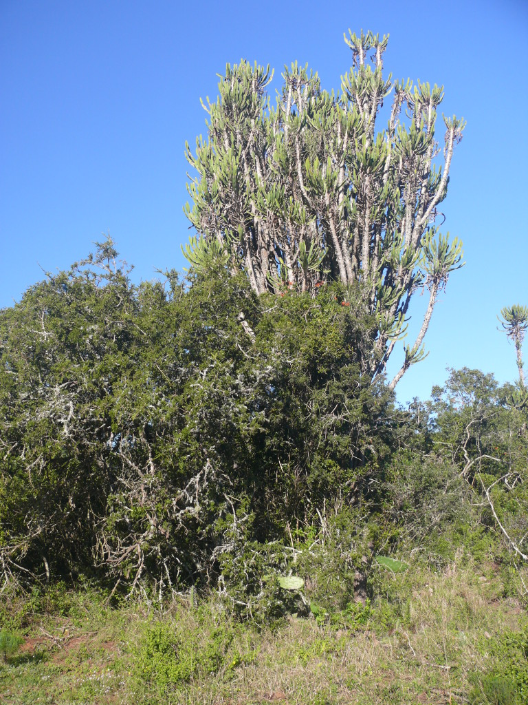 Fig. 5. Euphorbia dominated Valley Thicket vegetation in Addo Elephant Park.