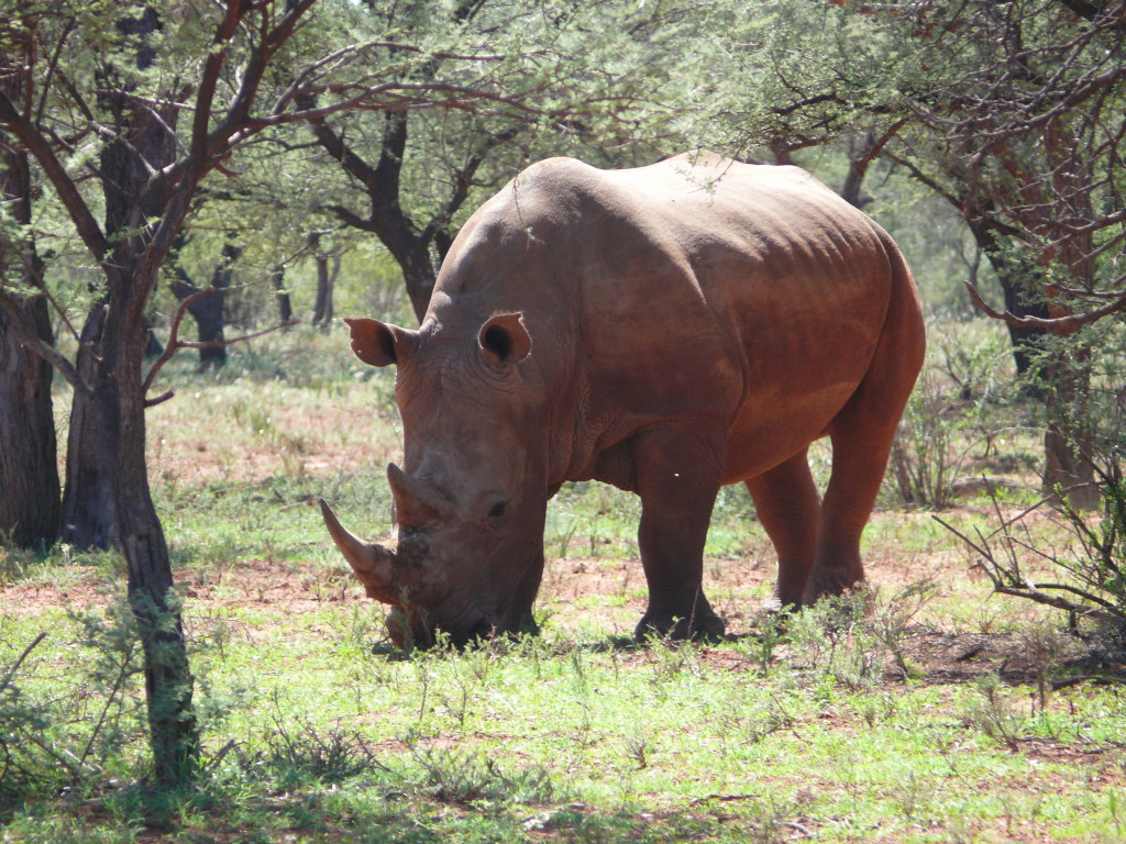 Fig. 3. Black rhinoceros in Mokala National Park south west of Kimberley.