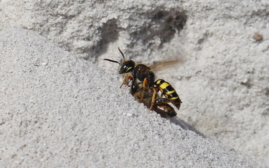 Fig. 5. A Philanthus wasp returning with a honeybee it had just captured.