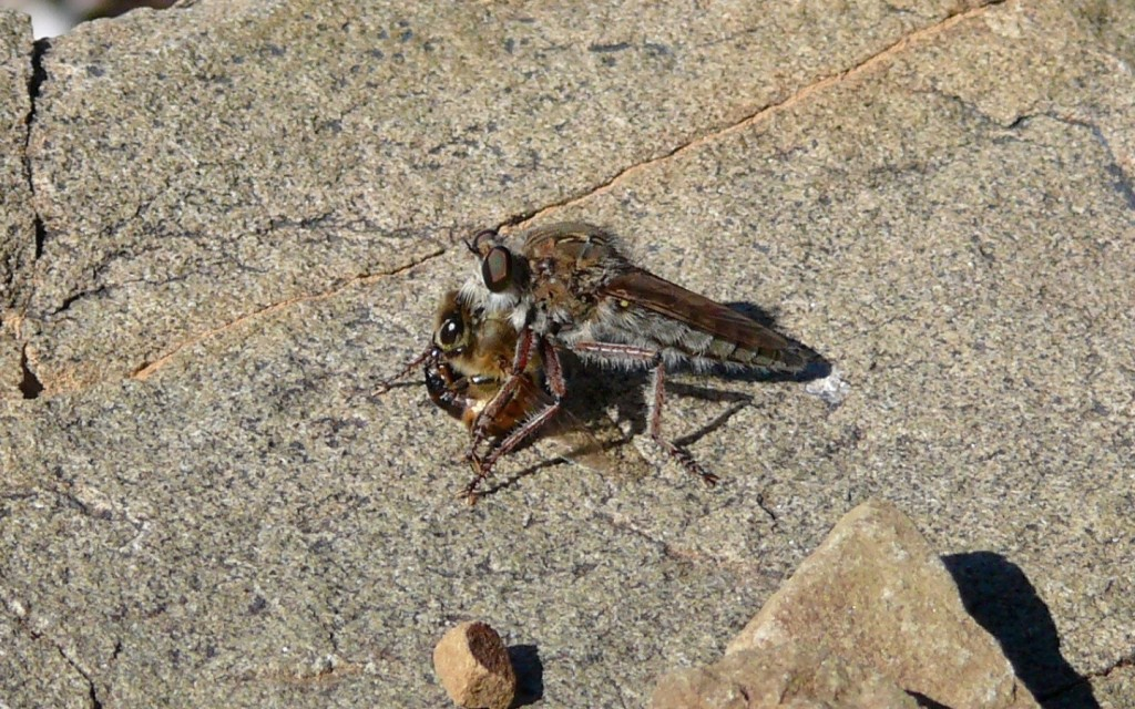 Fig. 2. Asilid robber fly with a captured honeybee in the Tanqua Karoo.
