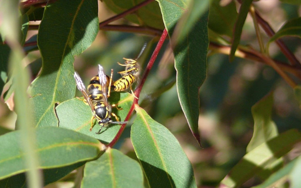 Fig. 9. An unusual photo of a pair of Vespula germanica mating on a shrub in Tokai.