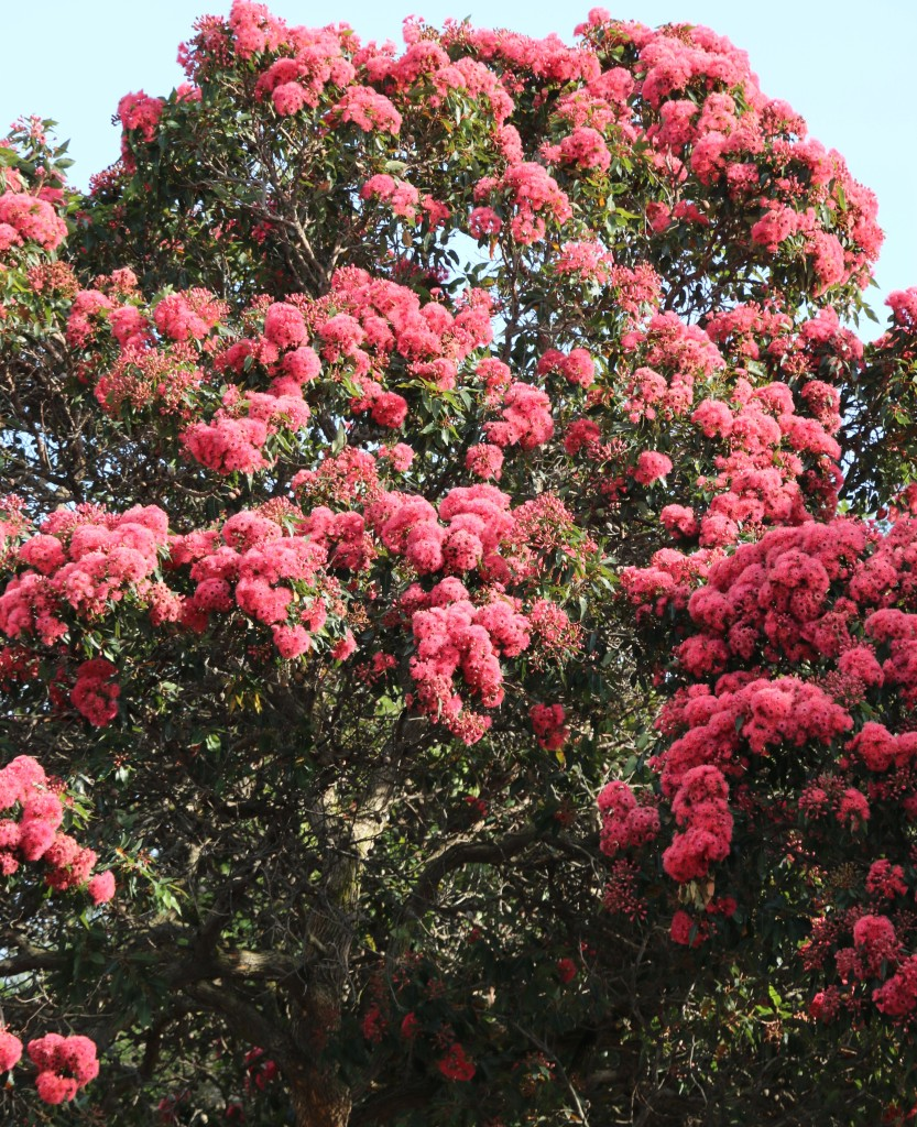 Fig. 1. The ornamental gum tree Corymbia ficifolia lining the streets of suburbs in Cape Town.