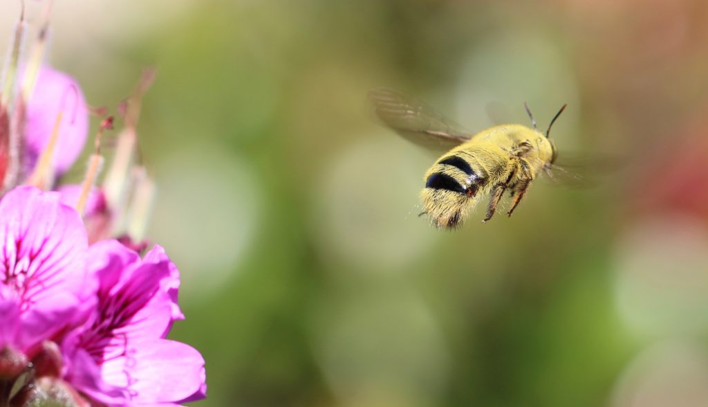 Fig. 3. Male Xylocopa caffra with his interstitial membranes exposed while patrolling his patch of Pelargonium.