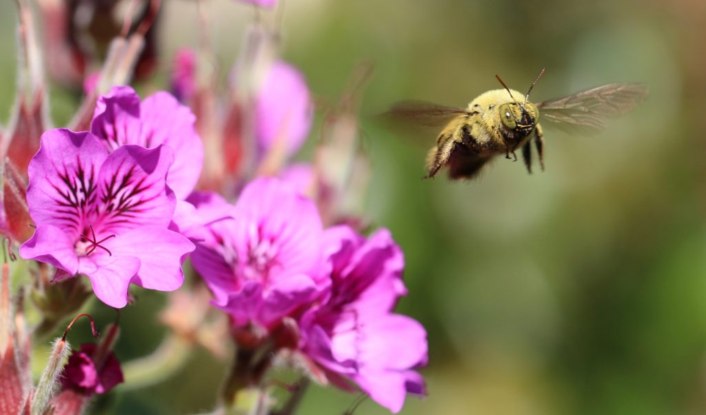 Fig. 1 Male Xylocopa caffra carpenter bee at his patch of Pelargonium cucullatum busy challenging the photographer.